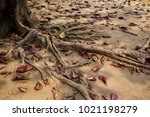 old big tree root a long the... | Shutterstock . vector #1021198279