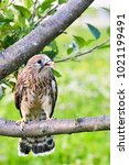 Small photo of Kestrel, Falco tinnunculus, single female on branch
