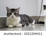 hybrid cats fed closed systems... | Shutterstock . vector #1021204411