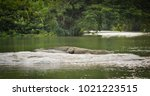 crocodile sleeping in rock | Shutterstock . vector #1021223515