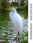 great egret white large egret... | Shutterstock . vector #1021241131