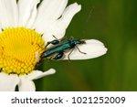 false oil beetle  thick legged ... | Shutterstock . vector #1021252009