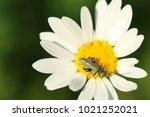 false oil beetle  thick legged ... | Shutterstock . vector #1021252021
