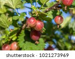 Fresh Gooseberries On A Branch...