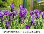 a macro closeup of lavandula... | Shutterstock . vector #1021356391