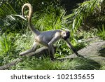Spider Monkey Runs Away.