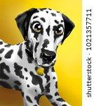 portrait of a dalmatian on a...   Shutterstock . vector #1021357711