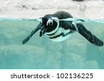 Picture Of A Swimming Pengum A...