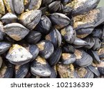 Fresh Seawater Mussels Attache...