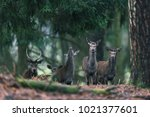 small group of red deer females ... | Shutterstock . vector #1021377601