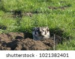 a young american badger... | Shutterstock . vector #1021382401