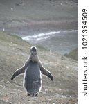 Small photo of Lonely molting gentoo penguin on ground, Antarctica