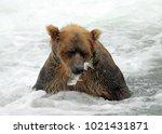 alaskan male grizzly bear... | Shutterstock . vector #1021431871