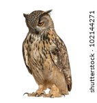 Stock photo eurasian eagle owl bubo bubo a species of eagle owl standing in front of white background 102144271