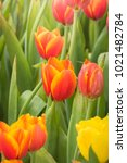 beautiful bouquet of tulips.... | Shutterstock . vector #1021482784