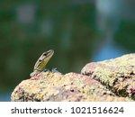 curious lizard on an old stone... | Shutterstock . vector #1021516624