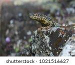 curious lizard on an old stone... | Shutterstock . vector #1021516627
