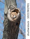 Small photo of Red-morph Eastern Screech Owl sleeping in a tree cavity in the warm, afternoon sun. Woodland Cemetery, Burlington, Ontario, Canada.
