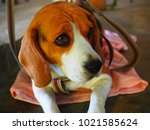 dog beagle breed at the age of... | Shutterstock . vector #1021585624