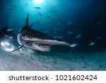 Hammerhead Shark Swimming among Divers with Open Mouth in Bahamas