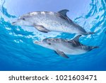 pair of friendly dolphins... | Shutterstock . vector #1021603471