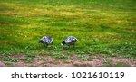 wild geese  beautiful goose.... | Shutterstock . vector #1021610119