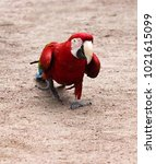 Small photo of red-and-blue macaw (Ara chloroptera) easy and measured goes on sandy soil in search of gastric concretion (gastrolith) - Nutcracker, berrypecker (fruitarian and granivore)