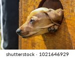 cute brown puppy poking its...   Shutterstock . vector #1021646929