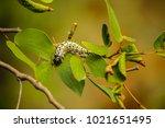 caterpillar climbing on a...   Shutterstock . vector #1021651495