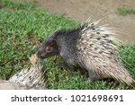 portrait of cute porcupine. the ... | Shutterstock . vector #1021698691