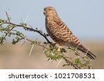greater kestrel on an acacia...   Shutterstock . vector #1021708531