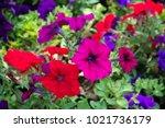 Petunia  Petunia Flower