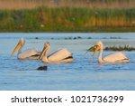 dalmatian pelican  pelecanus...   Shutterstock . vector #1021736299