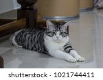hybrid cats fed closed systems... | Shutterstock . vector #1021744411