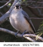 Tufted Titmouse Bird Perched On ...