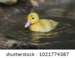 Duckling Is Playing Cute Water.