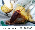 brown cockroaches are left on... | Shutterstock . vector #1021786165