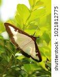 box tree moth  insecta | Shutterstock . vector #1021812775