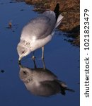 Seagull Kissing Water Reflection