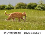 Stock photo a red cat carries a caught mouse 1021836697
