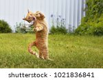 Stock photo cat catches a mouse in jumping 1021836841