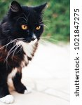 Stock photo black and white cat with yellow eye at backyard pet 1021847275