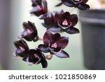 tiny black orchids | Shutterstock . vector #1021850869