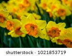 Yellow Coloured Daffodil With...