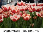 Red And White  Tulip Flowers I...