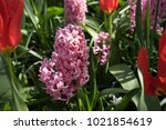 Pink Hyacinth Flowers In A...