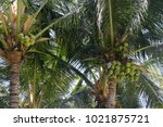 close up of coconuts in the... | Shutterstock . vector #1021875721