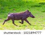 warthogs in tarangire national...   Shutterstock . vector #1021894777