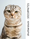 Small photo of Cute and cute Scottish cat looking at the camera on a white background. Place for the text.