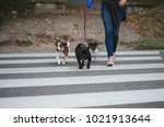 Stock photo dog walker crossing a street with dogs 1021913644